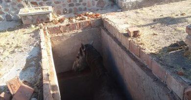 Rescata PC Caballo que Cayó a Una Fosa del Panteón de Huanusco